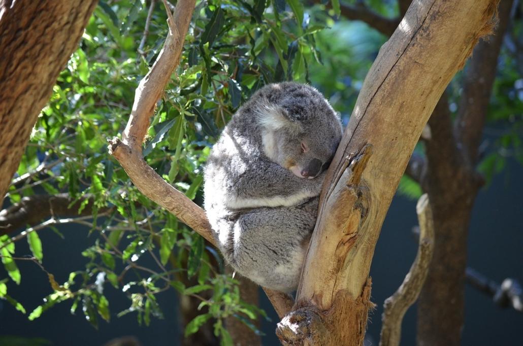 Koala Insidertipp Reise Sydney Australien Featherdale Wildlife Park