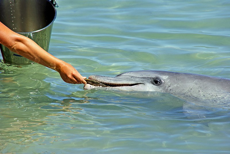 Monkey Mia - einmal im Leben wildlebende Delfine aus der Hand füttern