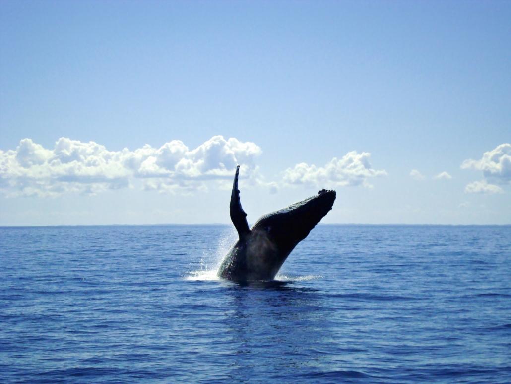 Buckelwale beobachten - ein einmaliges Erlebnis